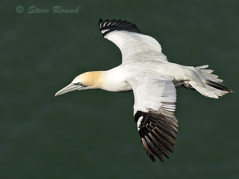 gannet, seabird, bird, wildlife, nature