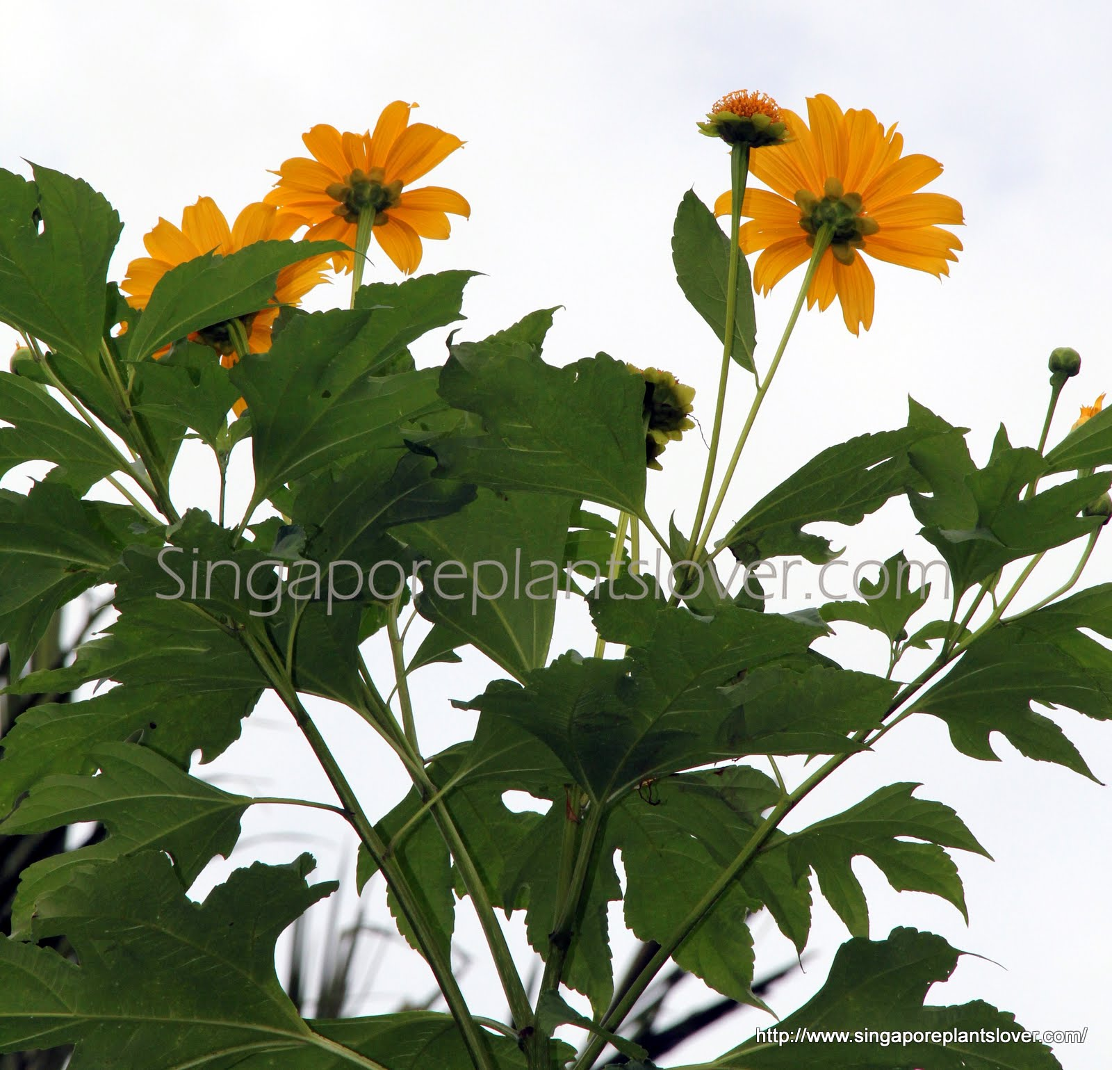 Singapore plants lover abc wednesday yellow flowers not sure what is the name of this plants bright cheerful flowers look like mini sunflowers or daisy but the plant is growing like shrub about 2 meter izmirmasajfo