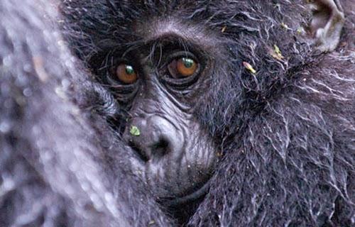 mono, chimpance,
