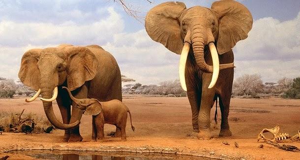 Elefantes conseguem identificar linguagens humanas