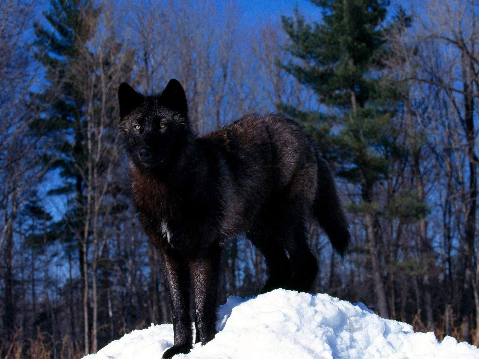 http://4.bp.blogspot.com/-kSgj4sWVM1E/UJqNQIN1MdI/AAAAAAAABRo/LmsE97A0CS4/s1600/Black+Wolf+in+Snow-wallpaper-Black+Wolf+in+Snow-hd-desktop.jpg