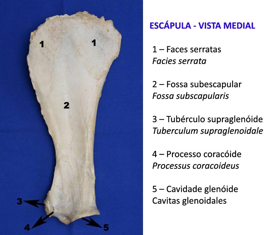 Vistoso Escápula Anatomía Perro Fotos - Anatomía de Las Imágenesdel ...