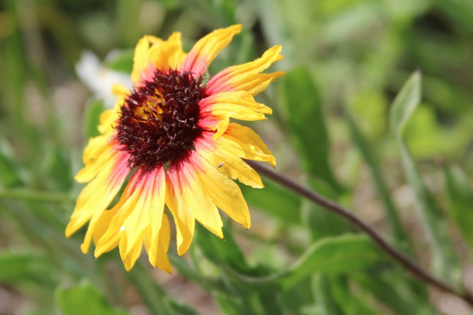 Yellow Indian Blanket Flower | ONE SNAP
