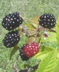 fresh blackberries, harvesting blackberries, life on a farm, summer harvest, blackberry cobbler,