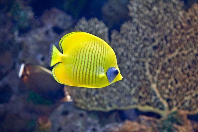 cuidar al pez de agua fria