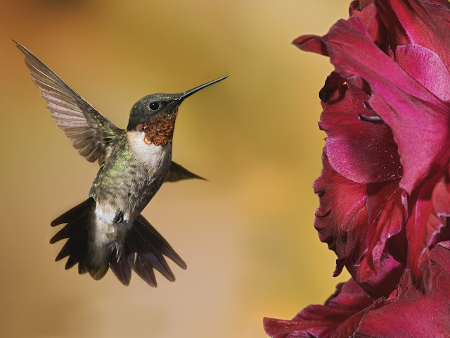 Amazing Male Ruby-Troated Hummingbird