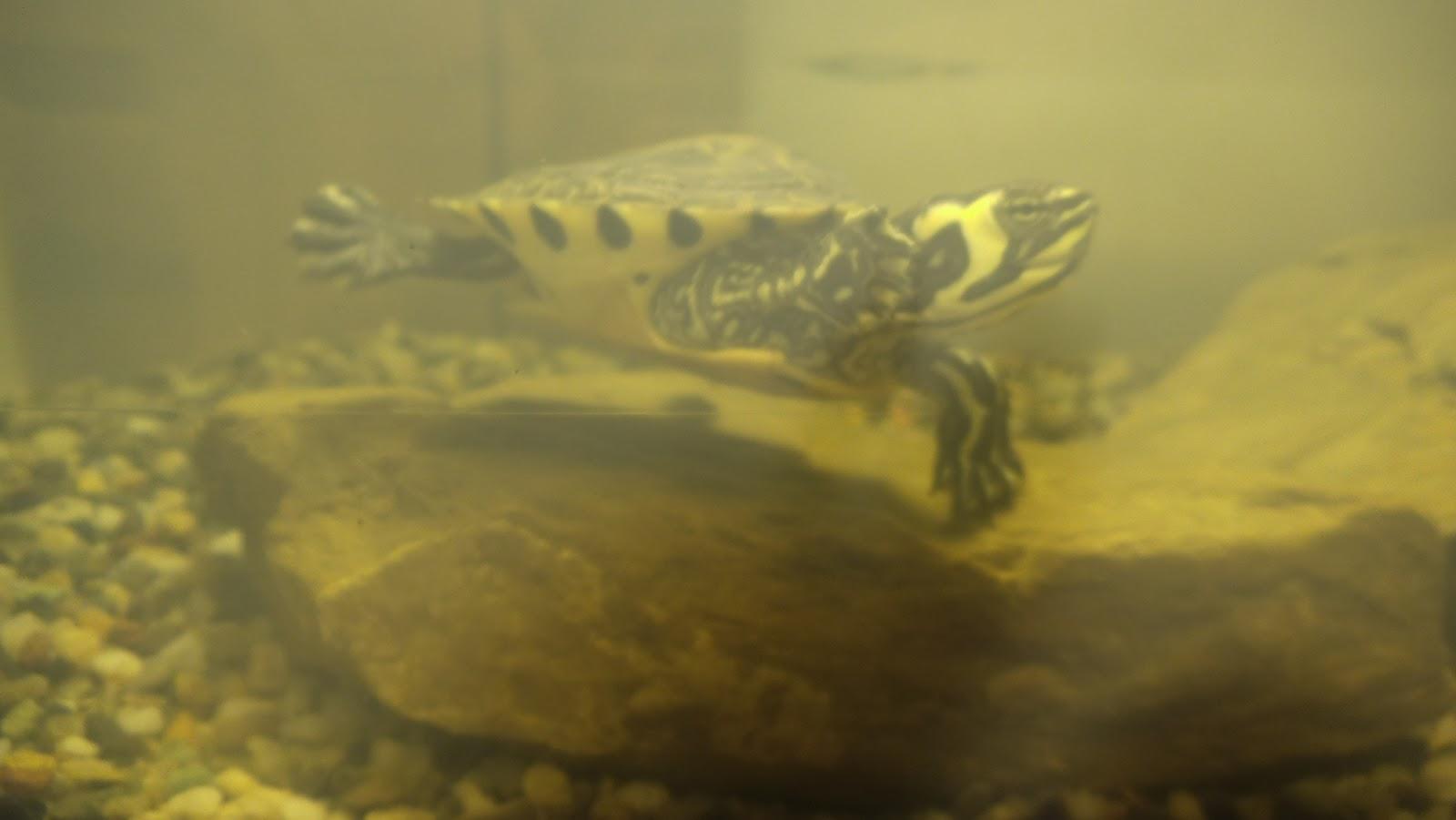 Tartarughe e problemi vari zootropicana for Termoriscaldatore per tartarughe