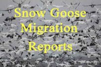 Spring Snow Goose Reports