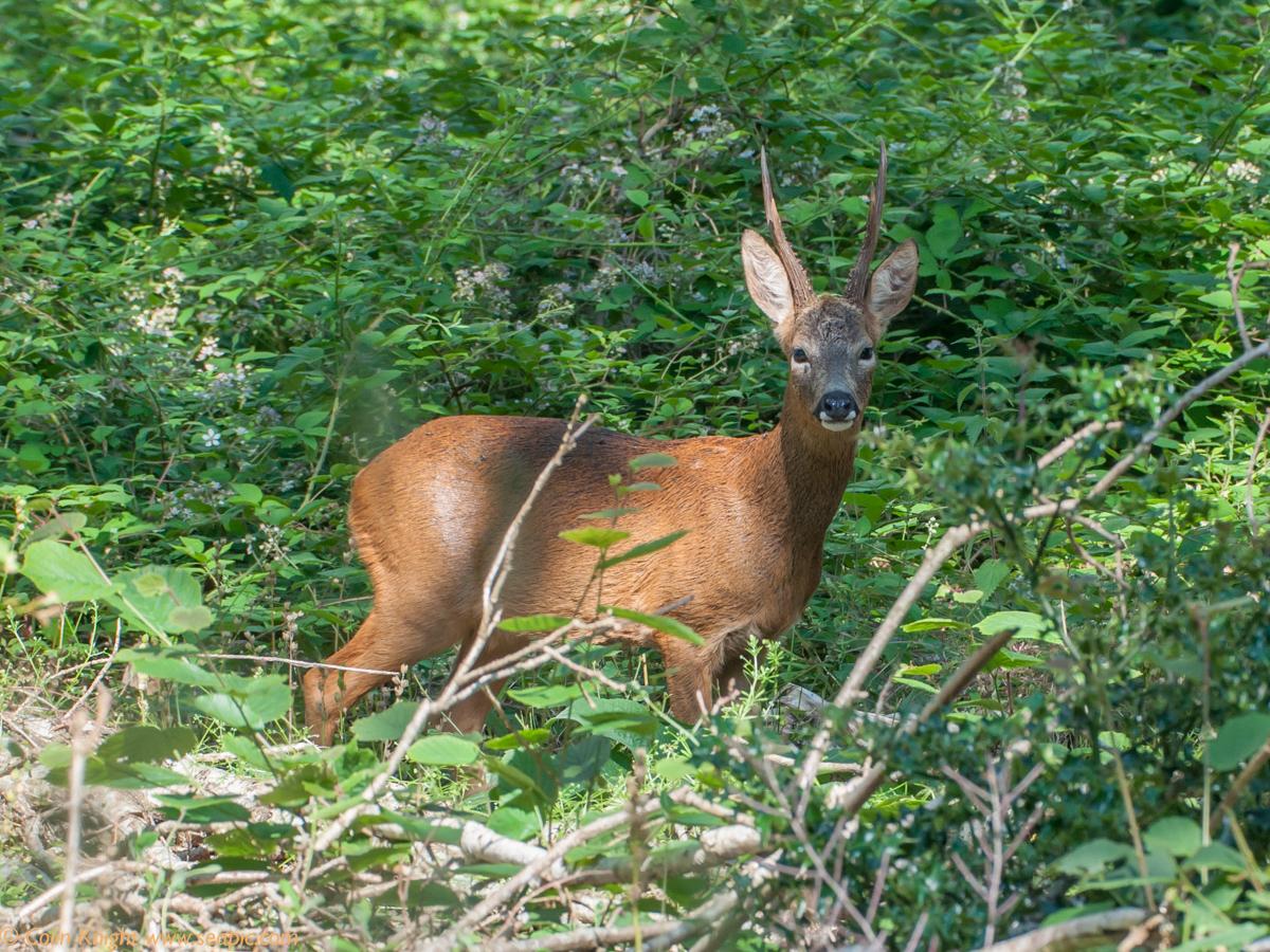 Single horned roe deer