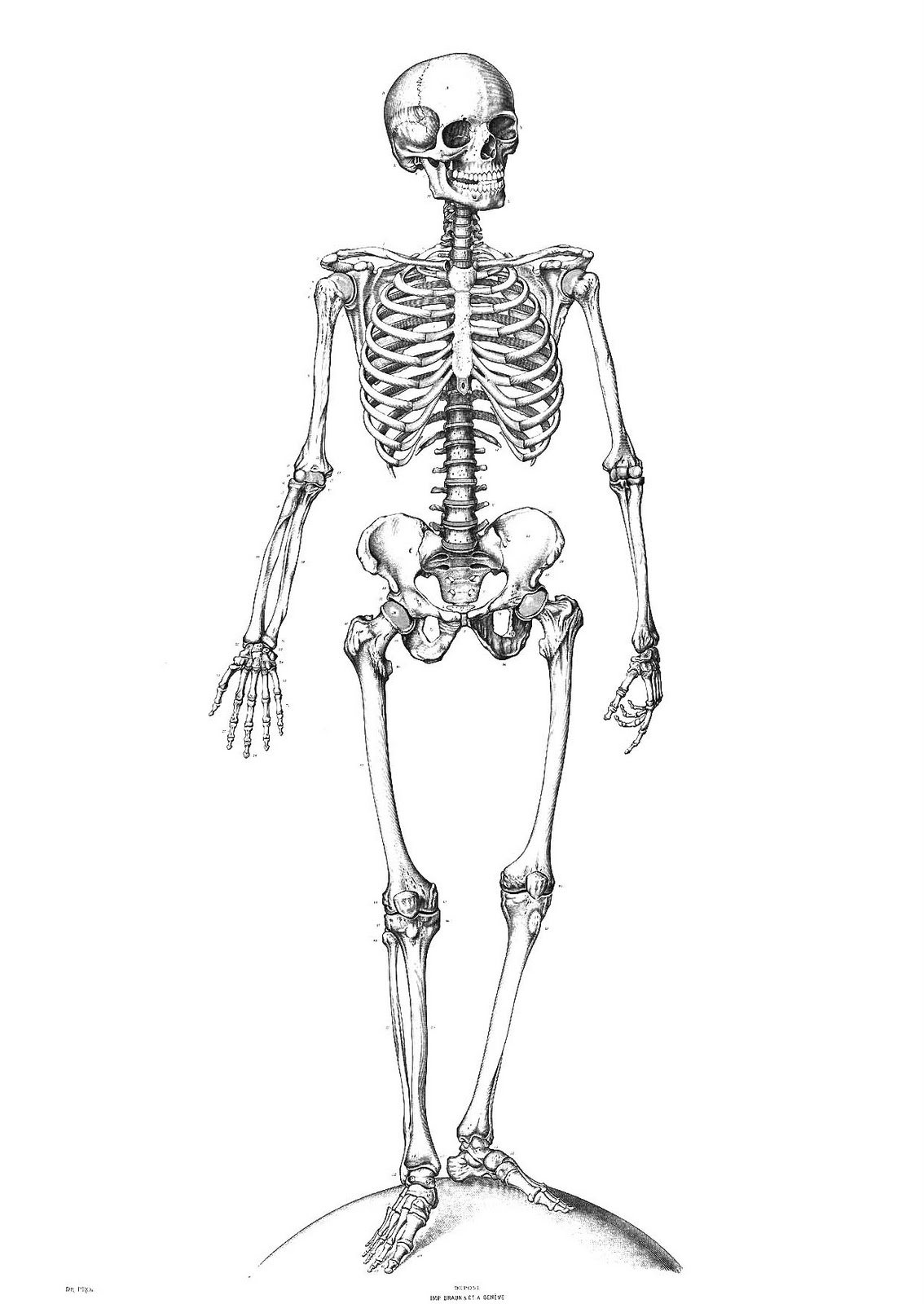 Free Coloring Pages Of Anatomy Human Skeleton