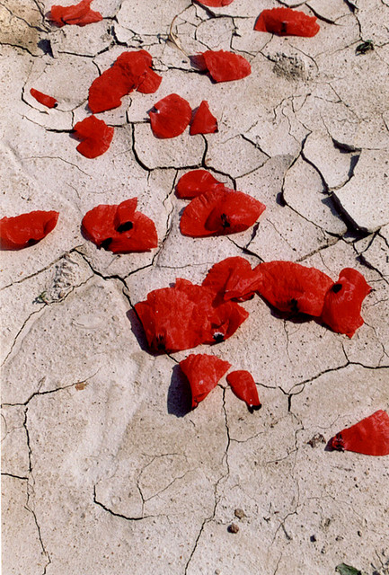 Poppies in the desert