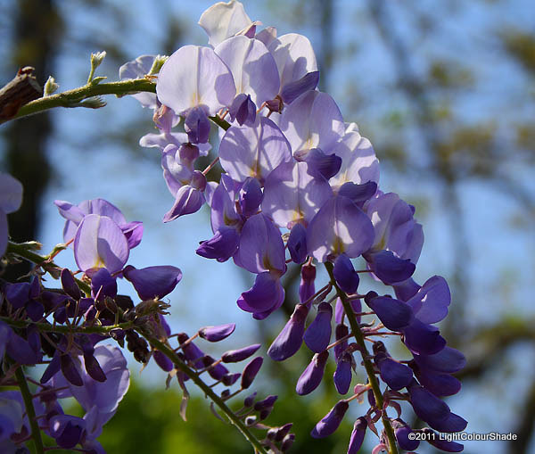 Fragrant wisteria, Wisteria amethist