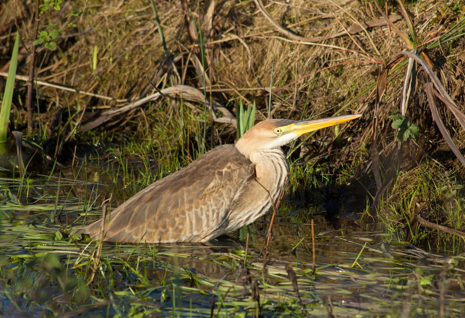 Purple Heron - Anglesey