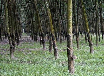kajian pasar dan peluang investasi Potensi kebun pohon tanaman karet unggul