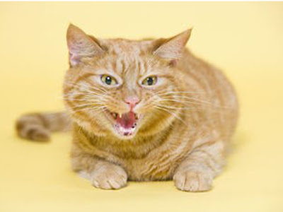 gambar kucing jantan