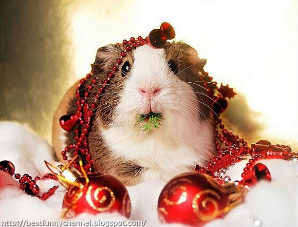 Funny Christmas Guinea pig.