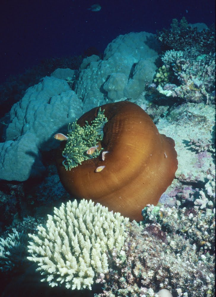 Magnificent Sea Anemone 9