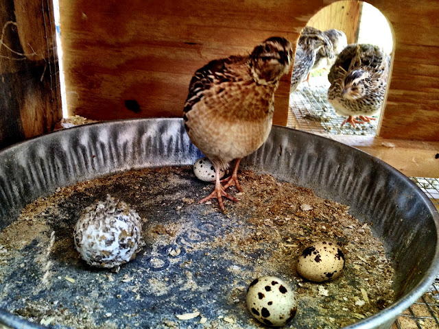 Male Coturnix quail (Left) and Female (Right), our little coop, backyard, urban, homestead