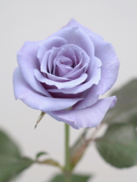 Suntory Ltd. blue rose