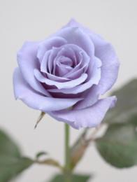 Suntory Ltd. blue rose