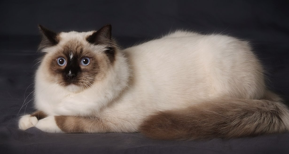 cat, Cats, pet, pets, Ragdoll Cat,