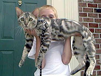 foto kucing bengal 06