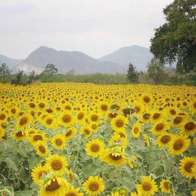 Campo-girasoles-Tailandia