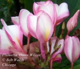 Plumeria 'Daisy Wilcox' flowering in Chicago.
