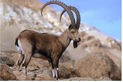 Ibex animal