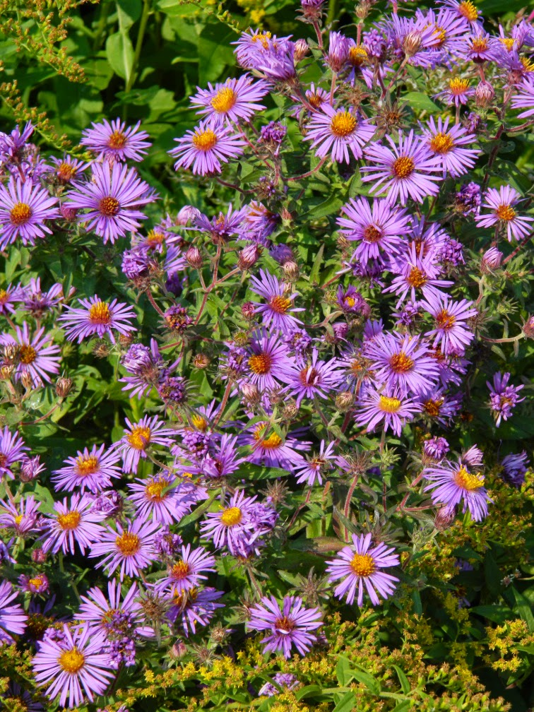 Symphyotrichum novae-anglicae New england aster Toronto Botanical Garden by garden muses-not another Toronto gardening blog