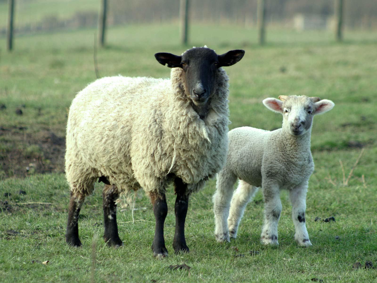sheeps wild life adventures. Black Bedroom Furniture Sets. Home Design Ideas