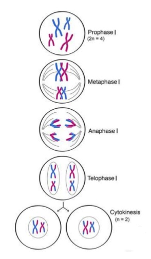 130 meiosis biology notes for a level meiosis i ccuart Gallery