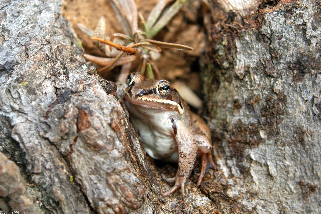 Wood frog tadpoles - photo#7