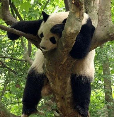 Dreams & Happy Things...: Sleeping Pandas