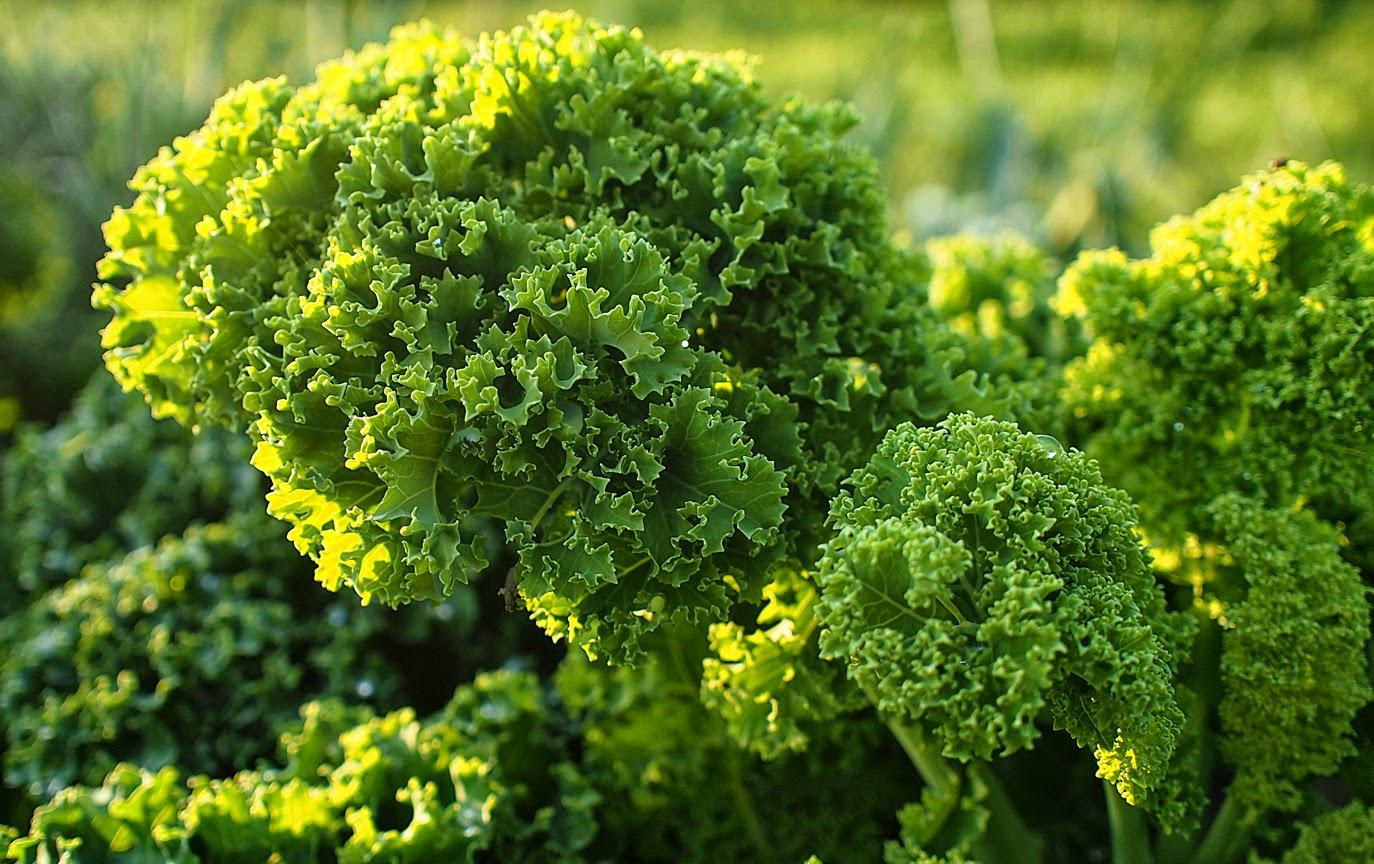 Rr >> Im Garten und am Wegesrand: Grünkohl