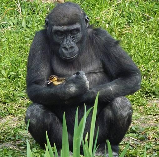gorila memeluk dan mencium dengan penuh kasih sayang seekor anak bebek atau itik