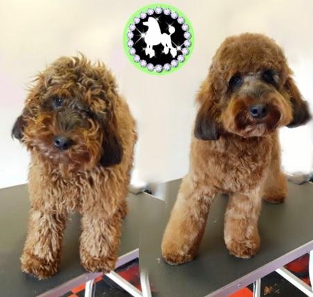 dog grooming cockerpoo photo mutley makeovers