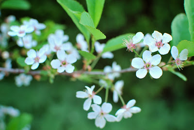 Sikkola-kirsikkapuu kukkii