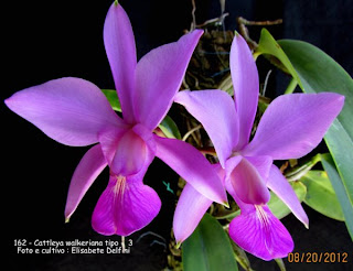 Cattleya walkeriana tipo - Vaso 3 do blogdabeteorquideas