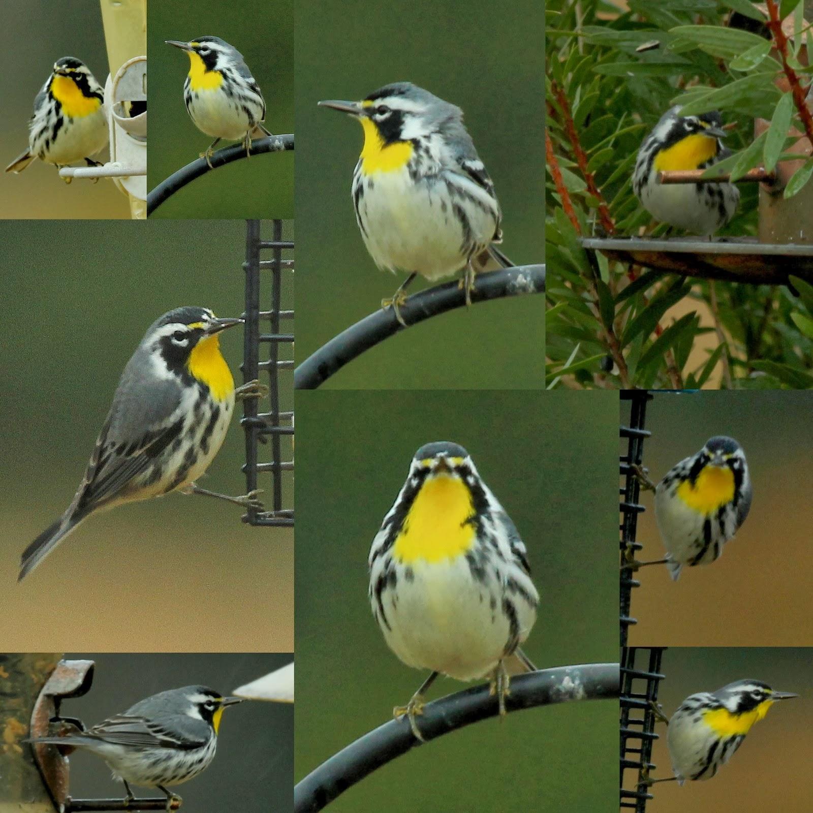 at yellow p jackson bird perkins and magnolia feeder