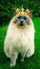 photo of Ragdoll cat with a crown on its head