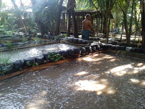 Budidaya lele sangkurian dengan kolam terpal
