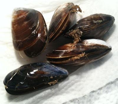 dead mussels