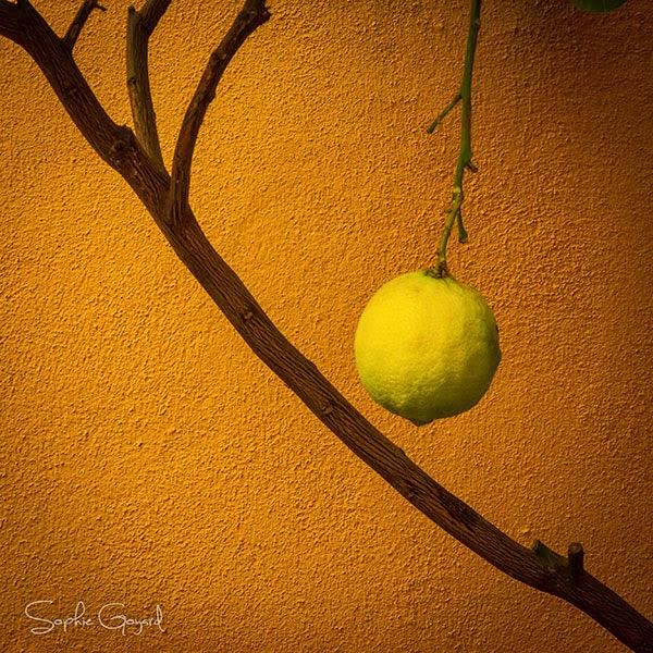 Citron photographie