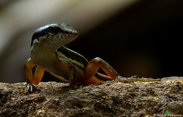 Dussumier's Forest Skink