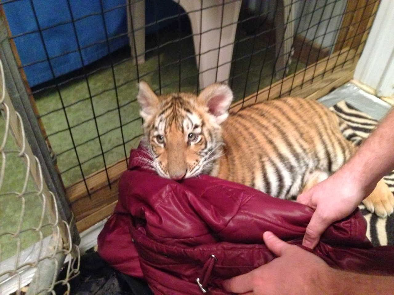Funny animals of the week - 17 January 2014 (40 pics), baby tiger bites red jacket