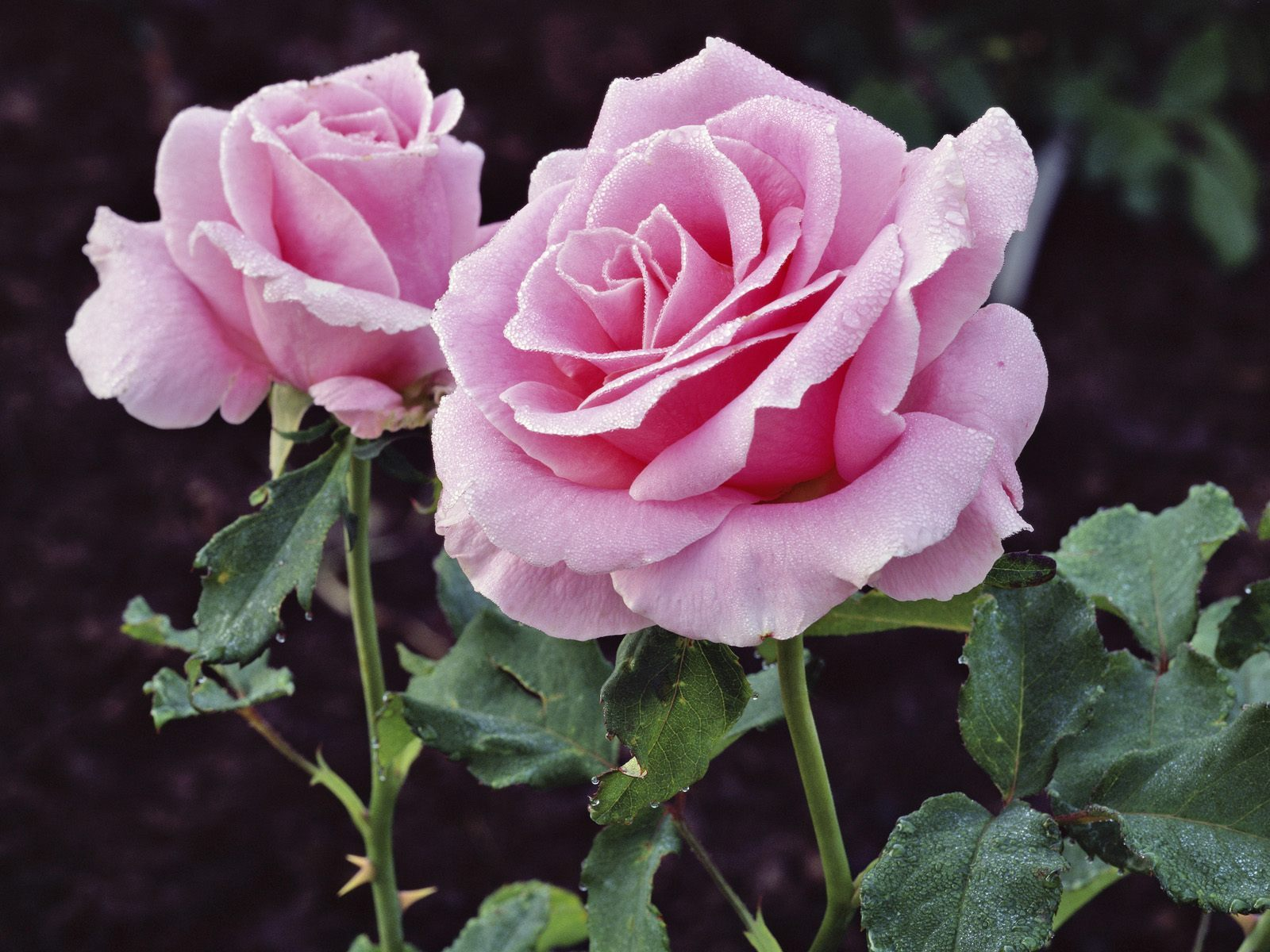 beautiful pink rose flowers images. most beautiful pink roses hd