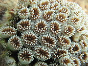 Close up of polyps are arrayed on a coral, waving their tentacles. There can be thousands of polyps on a single coral branch.