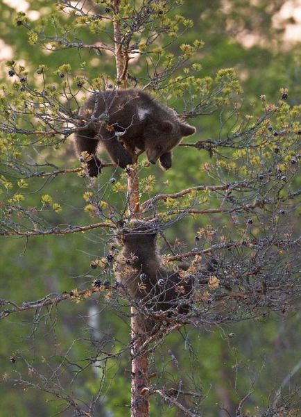 two bear on a tree