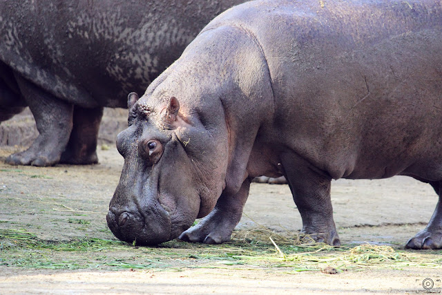 Baby Hippo, Shashank Mittal Photography, shashank, shashank mittal, animal photography, wild life